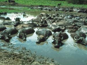 Kapolnapuszta-buffelreservaat